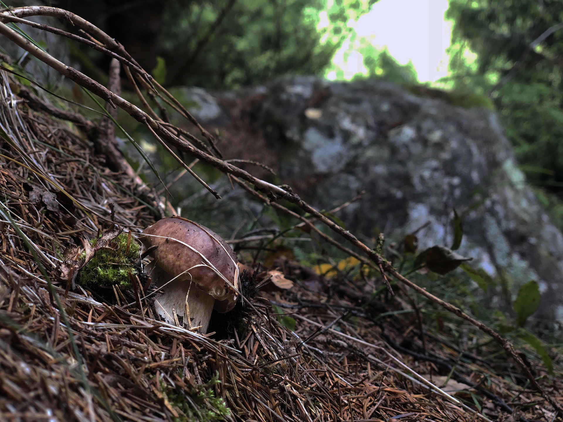 quality mushrooms in the Valtellina woodlands